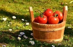 토마토 제대로 알고 먹자...토마토의 모든 것